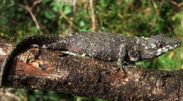 Arkive species - Pygmy lizard (Cophotis ceylanica)