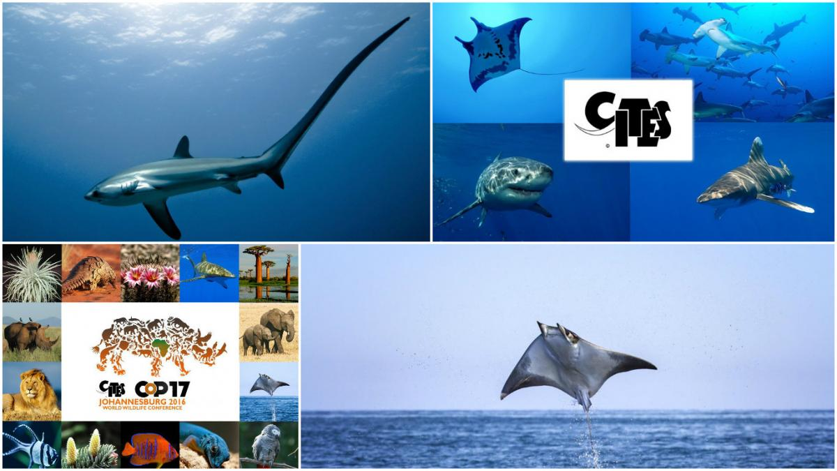 sharks and rays high on cites cop17 agenda cites