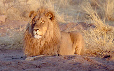scientific name of lion