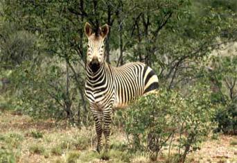 Zebra Scientific Name Hartmanns Mountain Zeb...
