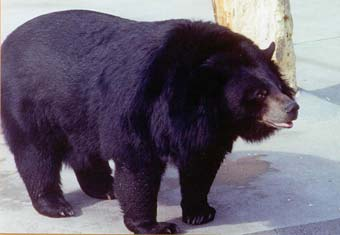 Asiatic Black Bear Cites