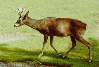 pampas_deer.jpg