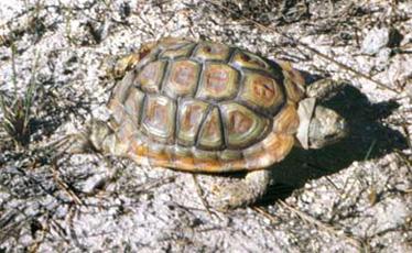 Parrot-beaked tortoise   CITES