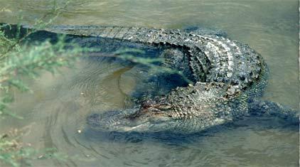 American Alligator Cites