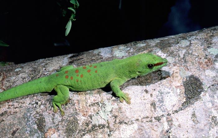 madagascar day gecko cites
