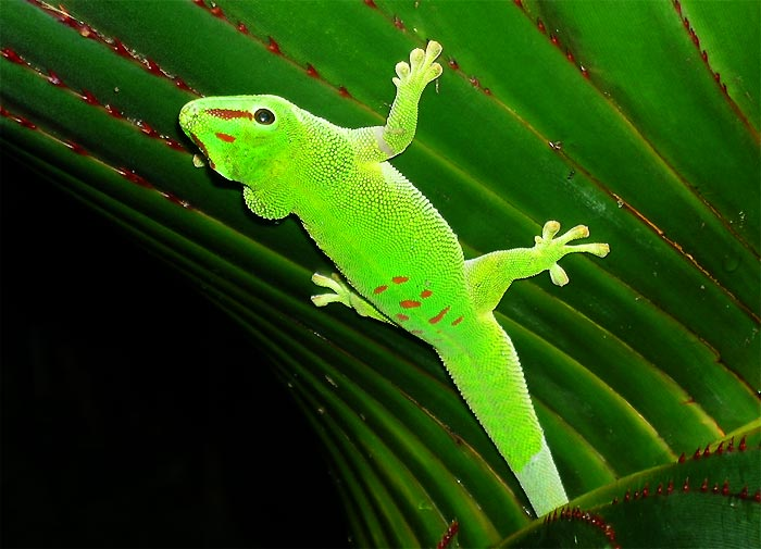 us map snake html with Madagascar Day Gecko on Madagascar day gecko in addition Photo 2338850 furthermore 17316 Snake besides 58690 as well T c ocellatus.