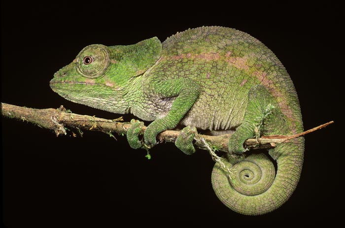 Chameleon Short horned chameleon