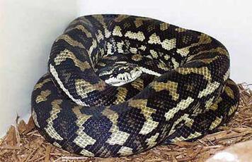 carpet python. carpet python