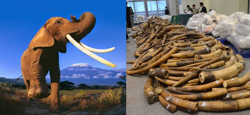 dcf810bdc CITES  African elephant poaching down