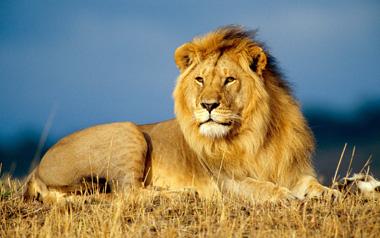 sauver les lions l afrique pr te aller de l avant cites. Black Bedroom Furniture Sets. Home Design Ideas